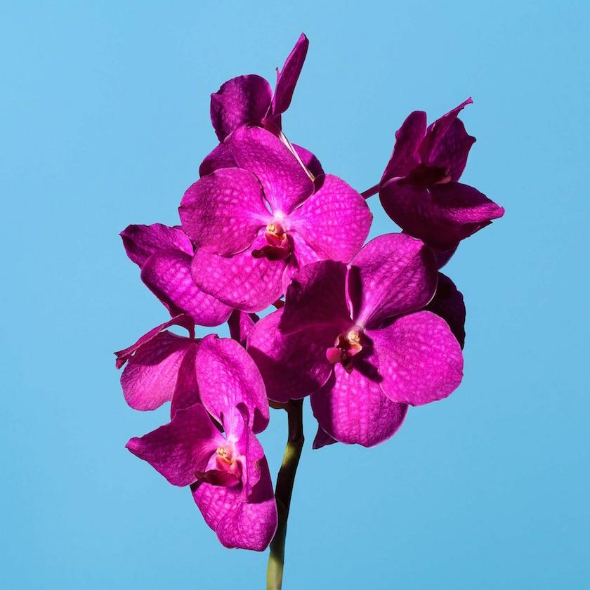 stills flower plant plants flowers pink blue orchid