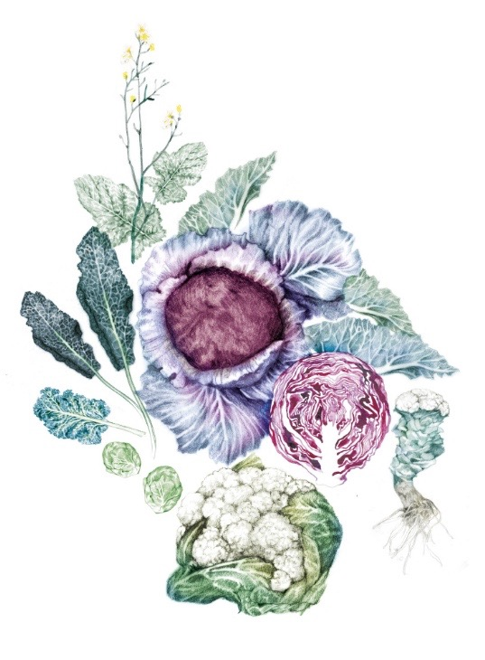 illustrator, illustrators, illustration, illustrations, cabbage, cabbages, vegetables, composition, veggie, vegetable, flower, flowers, cauliflower, kale, brussels sprouts