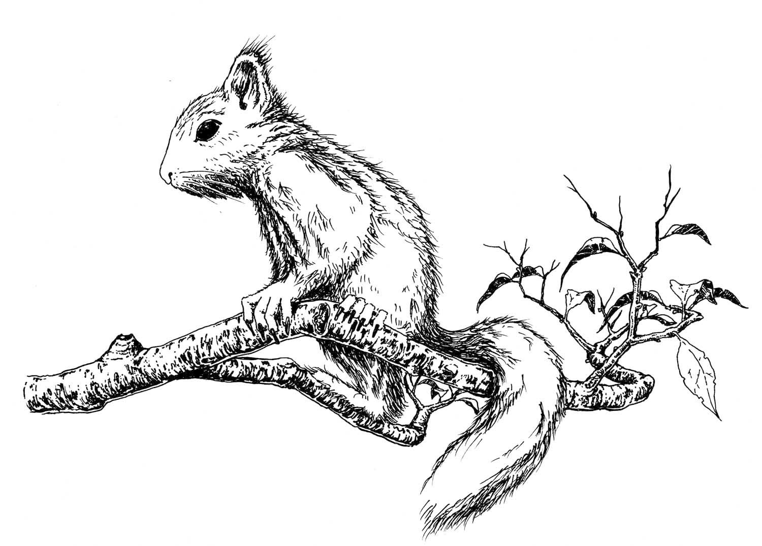 "Ink ""Hand drawing"" realistic ""black and white"" detailed squirrel animal branch"