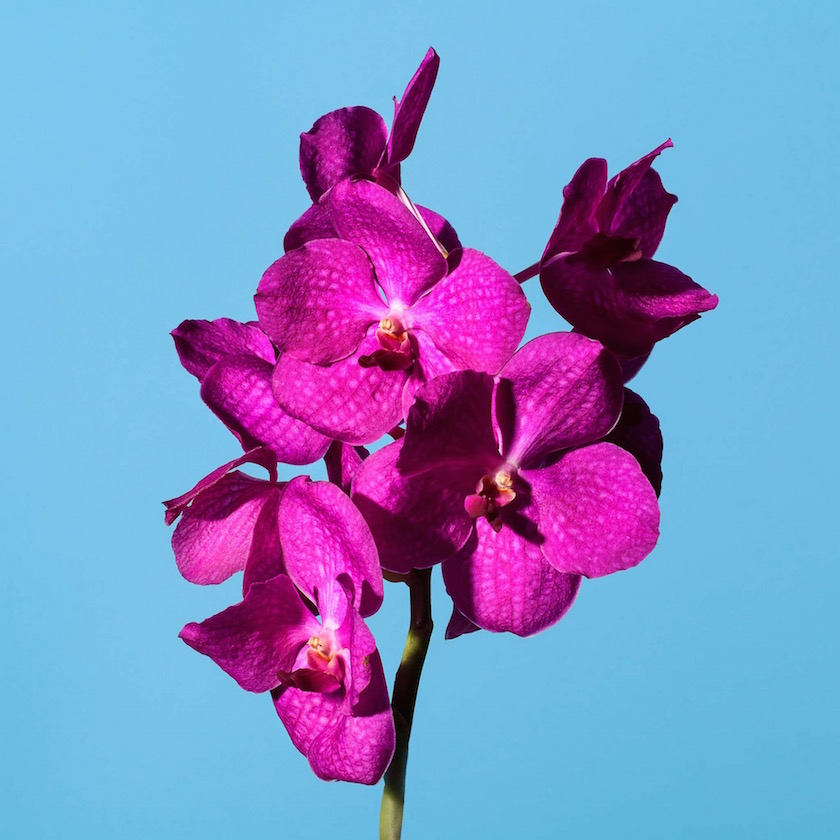 stills flower plant plants flowers pink blue orchid