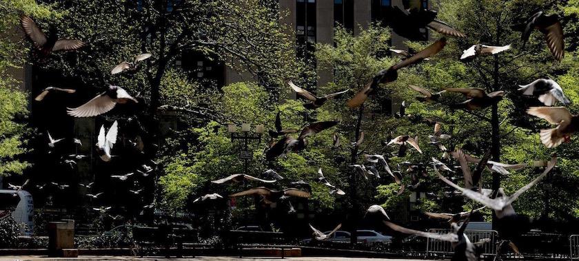 photo photos photographer photographers photography bird birds animal animals fly flying pigeon pigeons